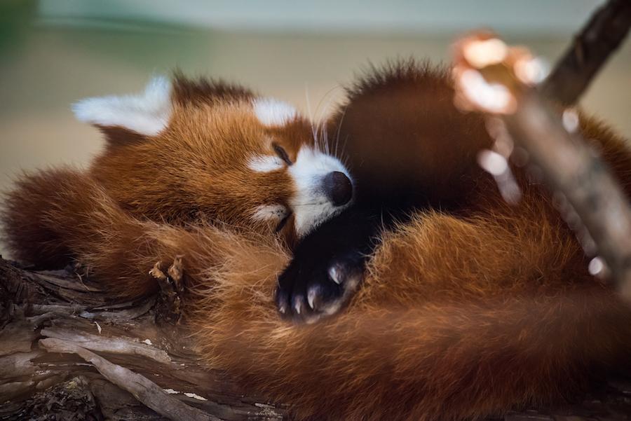A red panda at the Oklahoma City Zoo.