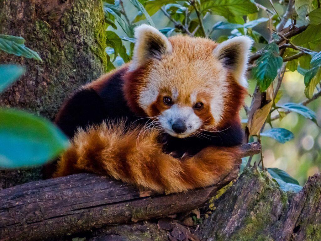 A red panda in Darjeeling.