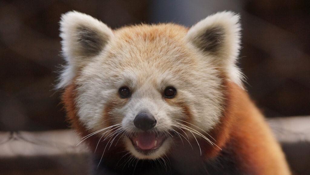 A red panda seemingly smiling at the camera.