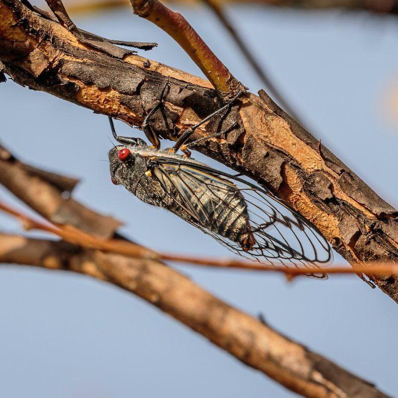 A redeye cicada on a branch.