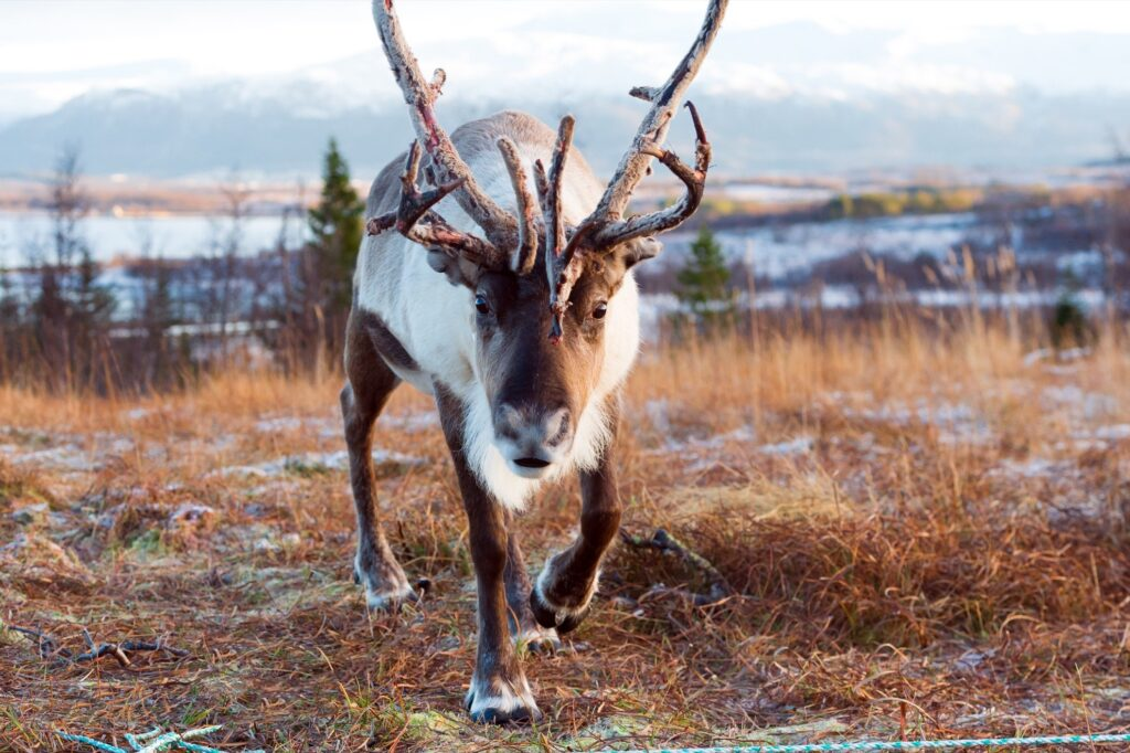 A reindeer in the wild.