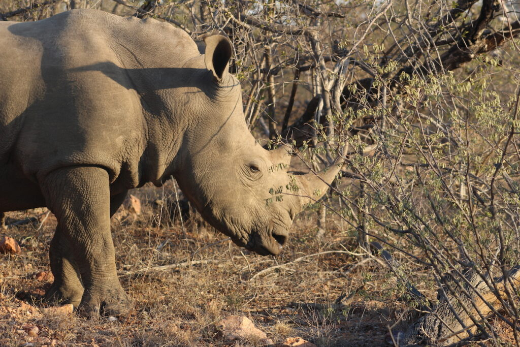 A rhino in Kruger National Park.