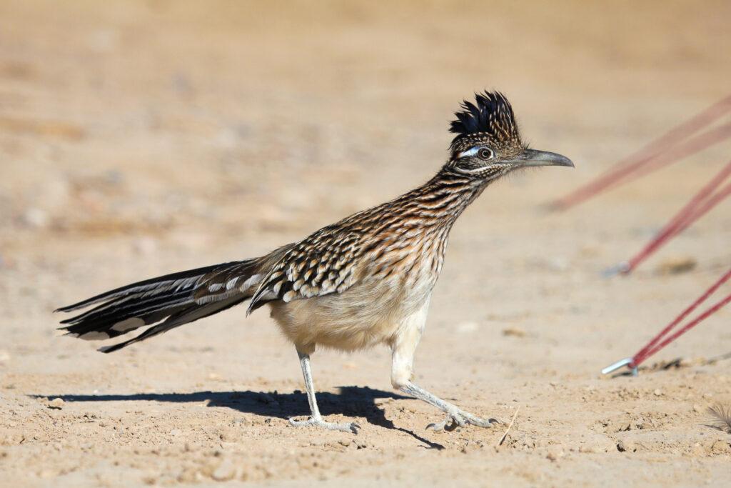 A roadrunner explores Death Valley National Park