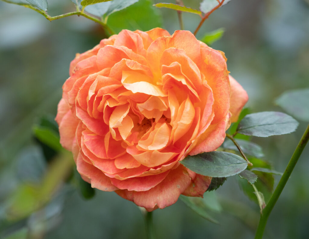 A rose at the Pittock Mansion in Portland, Oregon.