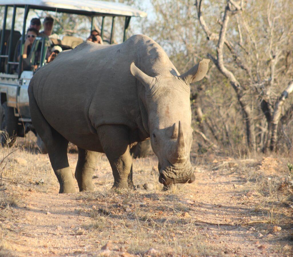 A safari in Kruger National Park.