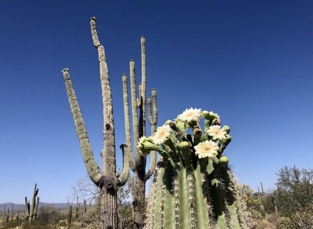 A saguaro cactus blooming during springtime in Tuscon, Arizona.