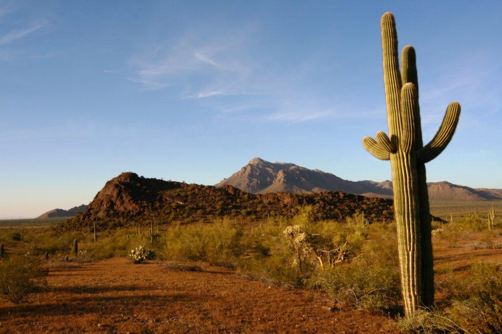 A saguaro cactus in the Sonoran Desert.