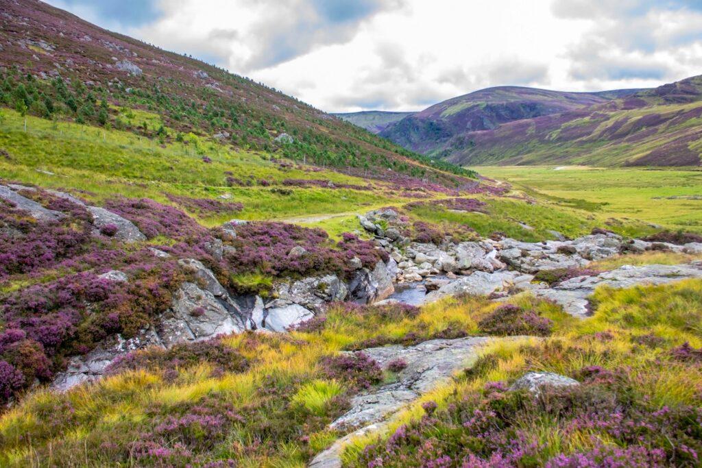 A Scottish landscape full of heather.