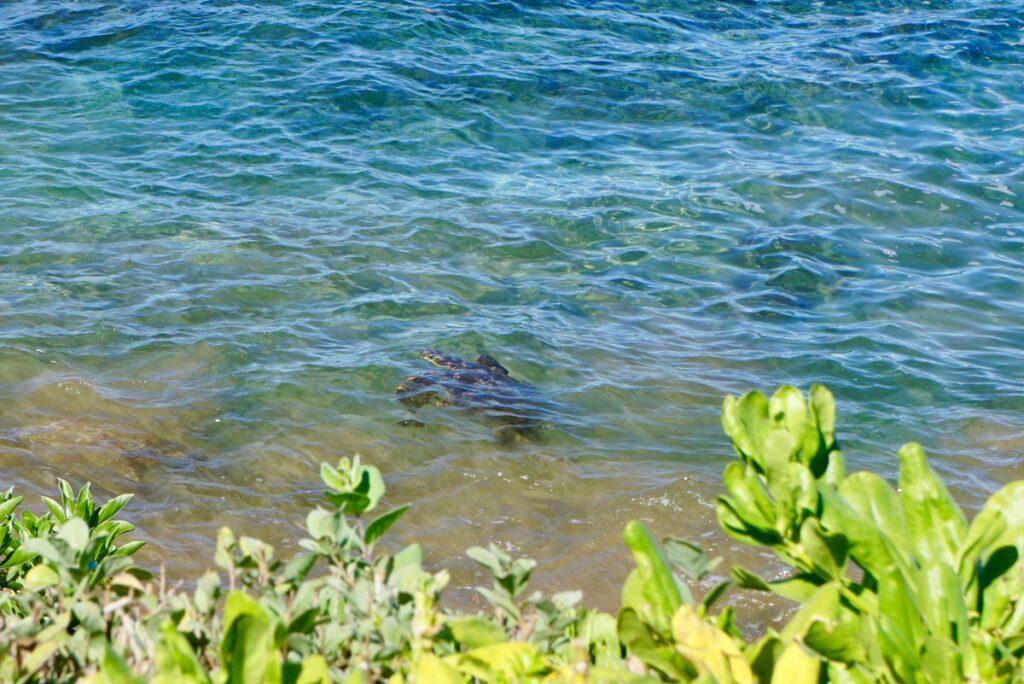 A sea turtle along the coast of Wailea Beach.