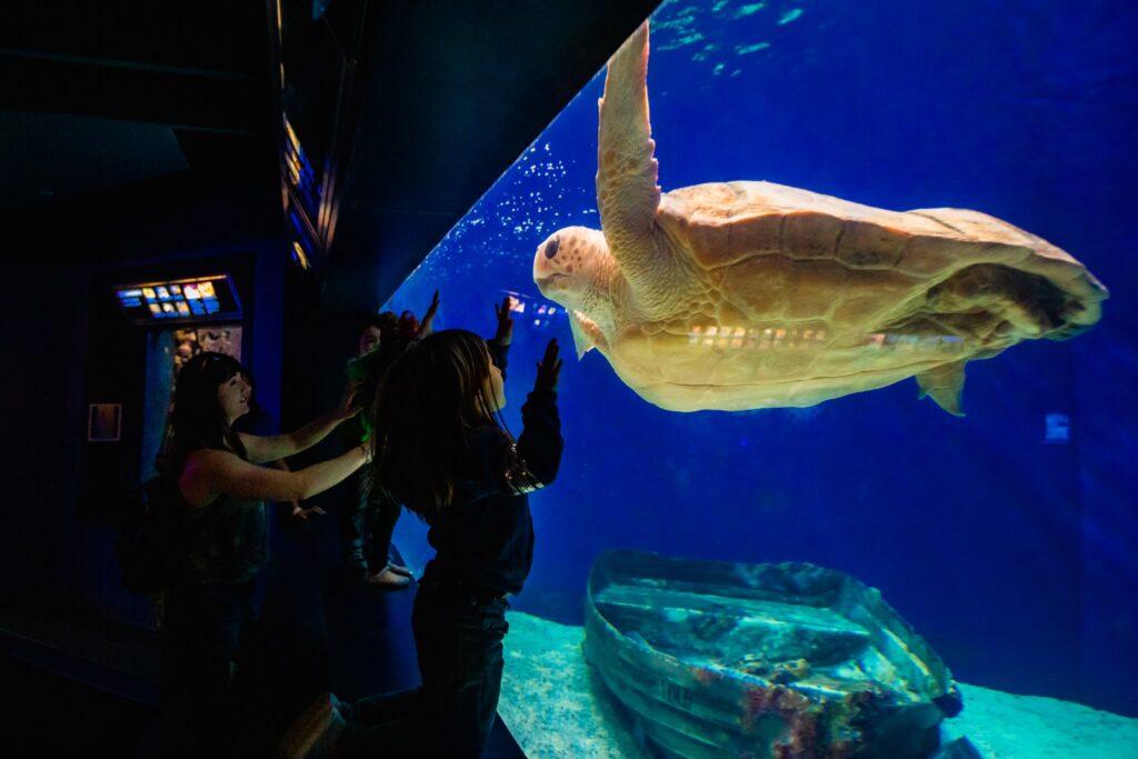 A sea turtle at the Birch Aquarium in La Jolla.
