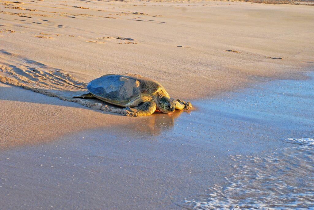 A sea turtle in Ras Al Jinz.