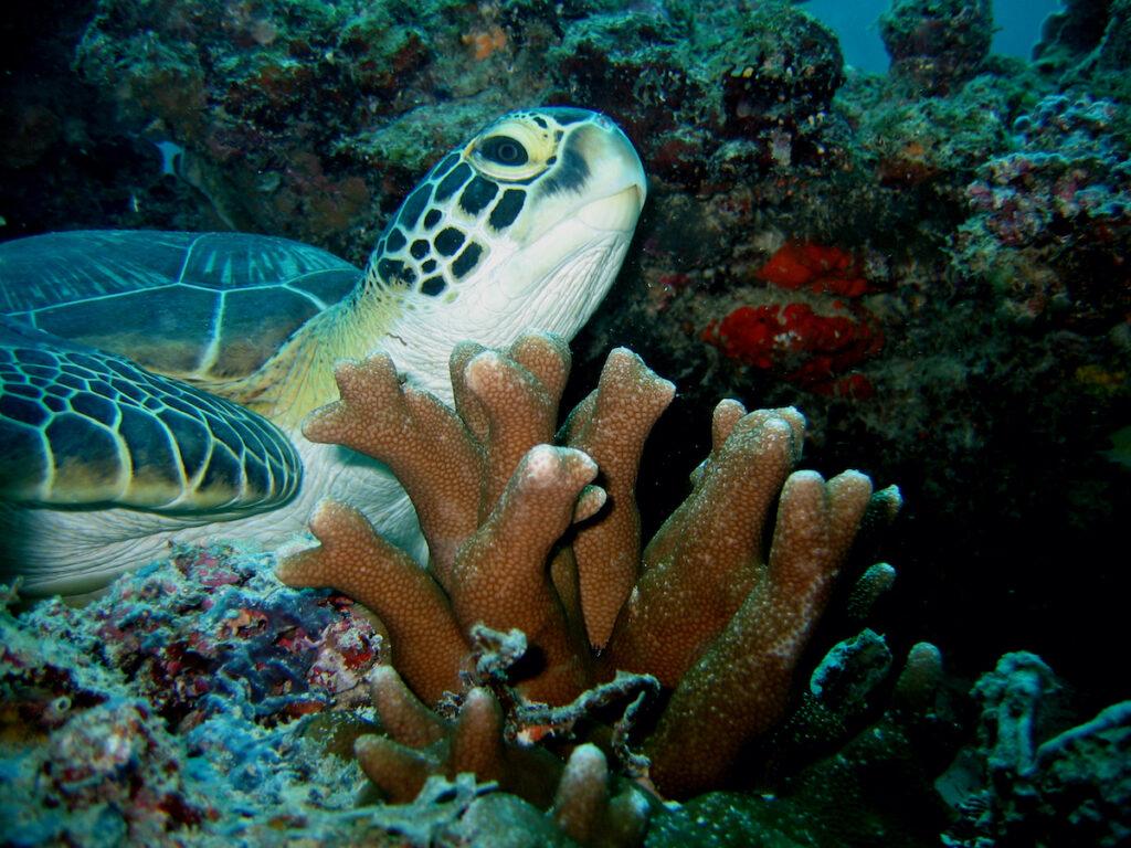 A sea turtle off the coast of Mafia Island.