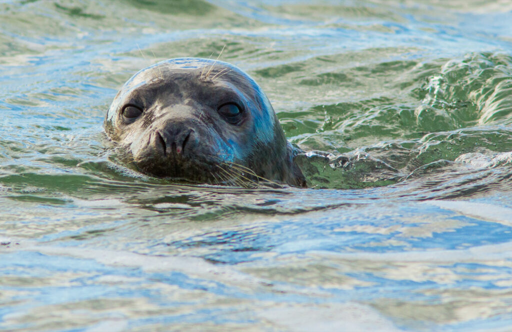 A seal in the waters of Cape Cod.