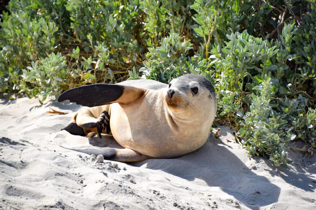 A seal on Kangaroo Island.
