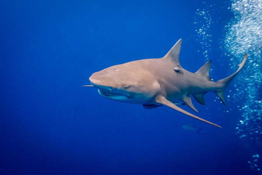 A shark off the coast of Florida.