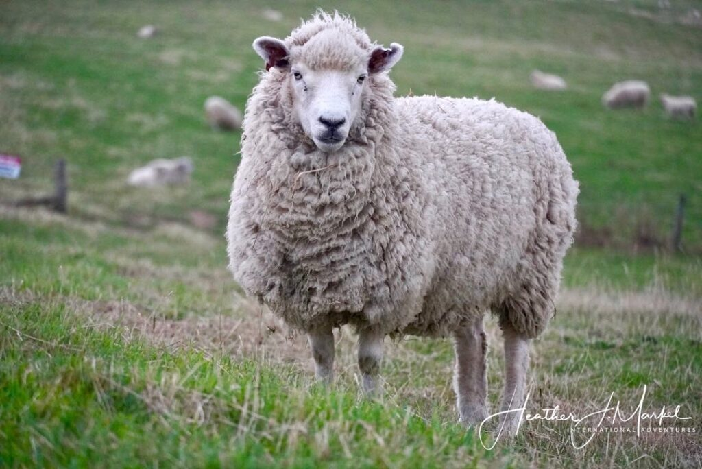 A sheep in a field in New Zealand.