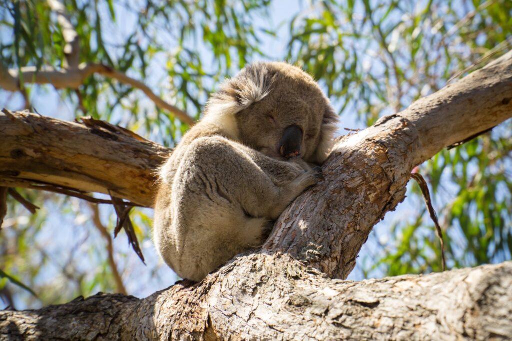 A sleeping koala on Raymond Island.