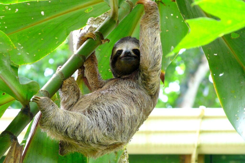 A sloth in Costa Rica.