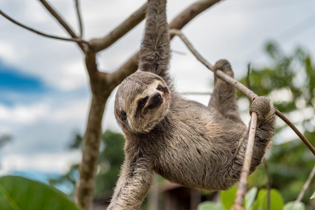 A sloth in Peru.