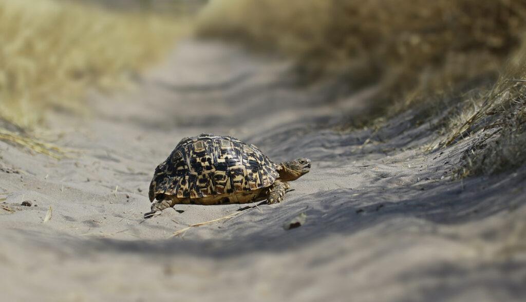 A slow-moving leopard tortoise.