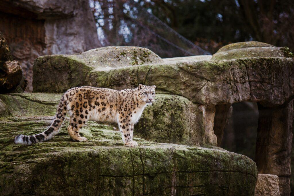 A snow leopard in Basel's Zoo.