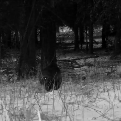 A still from the video of the wolverine in Yellowstone Park.