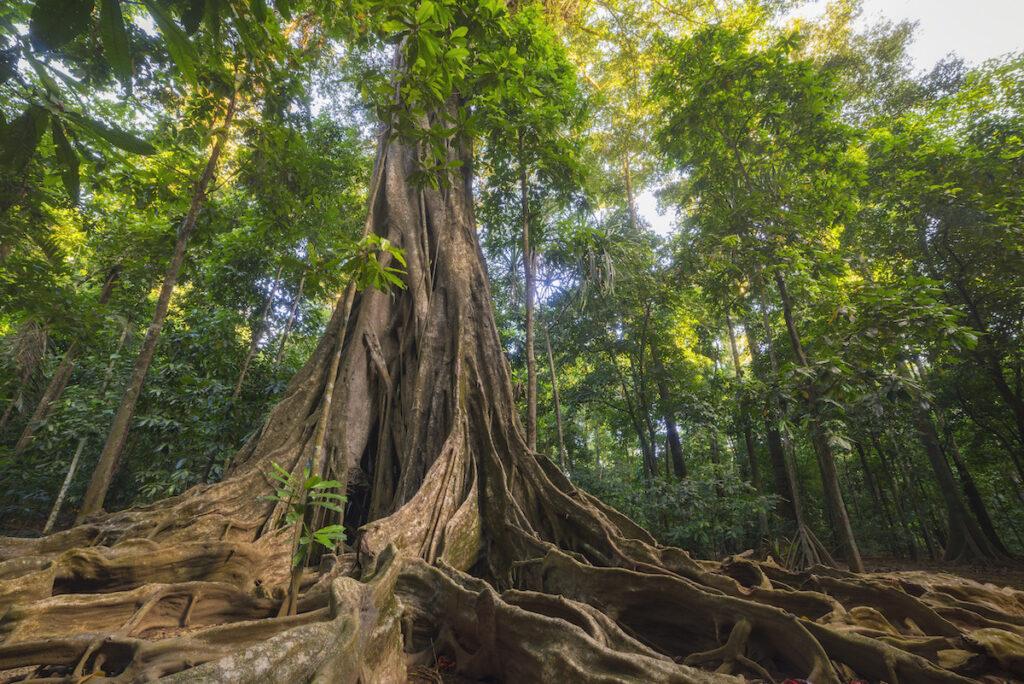 A strangler fig tree on Christmas Island.