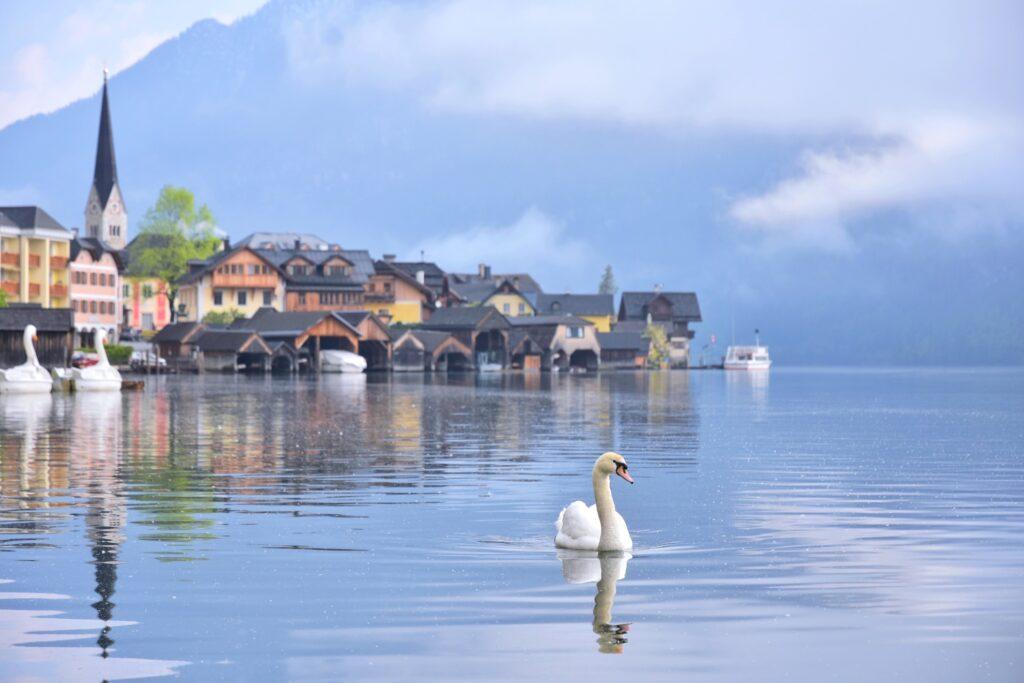 A swan in Hallstatt, Austria.