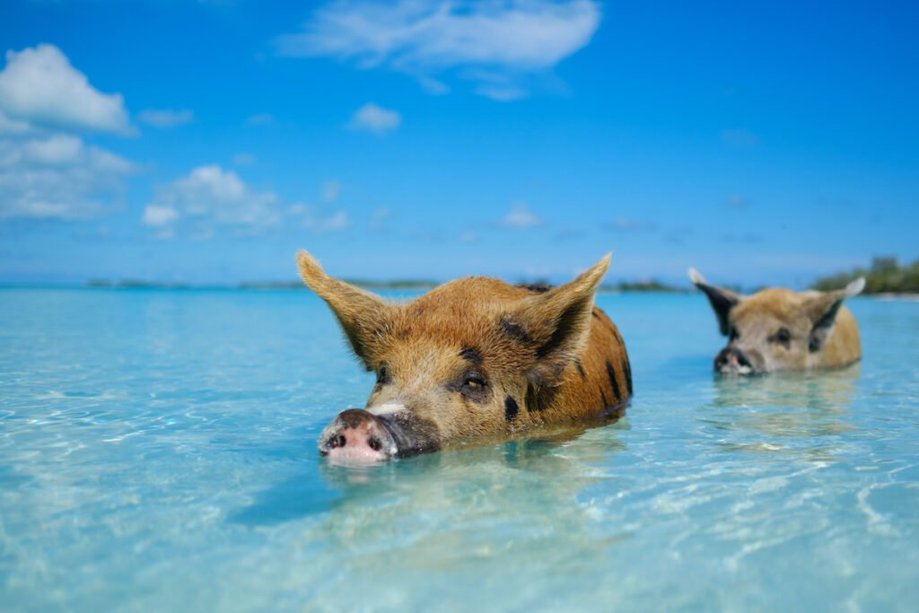 A swimming pig at Rose Island in the Bahamas.