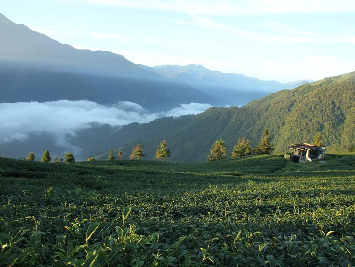 A Taiwanese tea plantation.