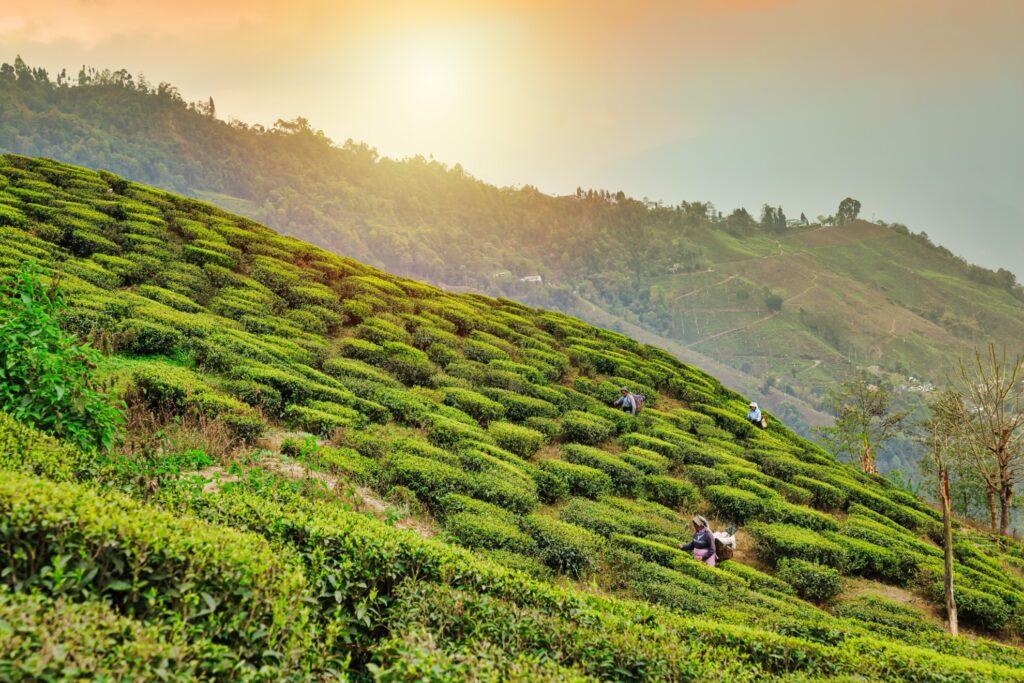 A tea plantation in Darjeeling.