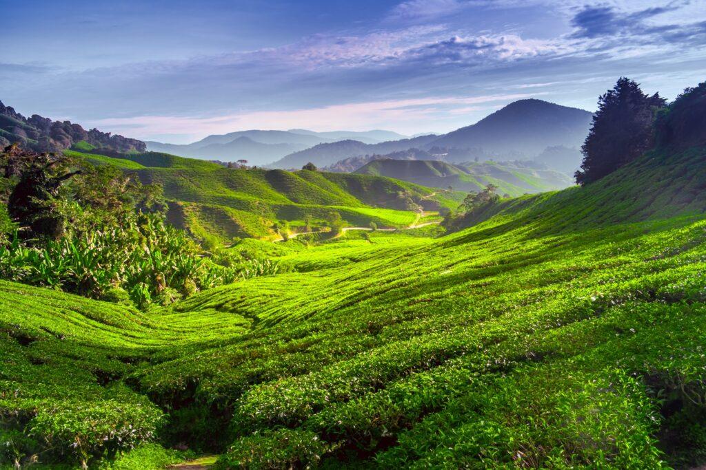 A tea plantation in the Cameron Highlands.