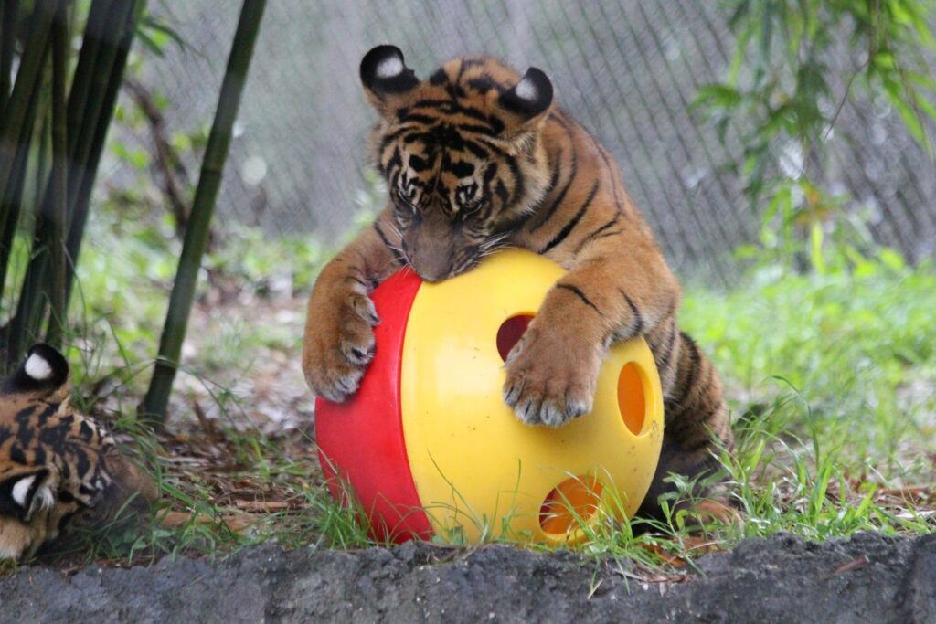 A tiger cub at the Jacksonville Zoo.