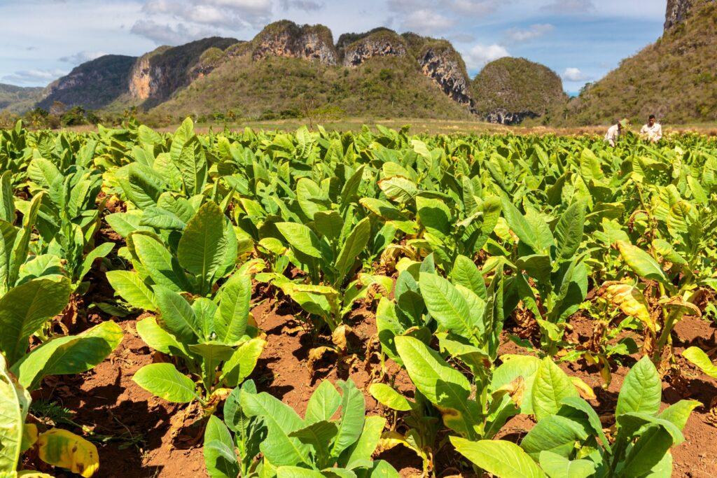 A tobacco plantation in Vinales.