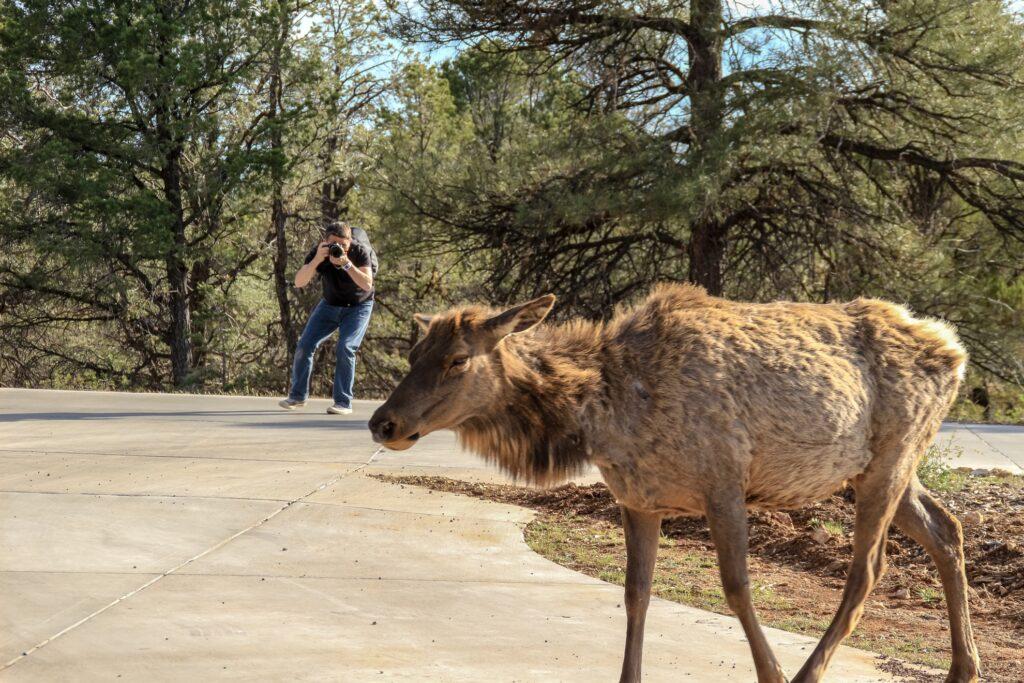 A tourist taking a photograph of an elk.