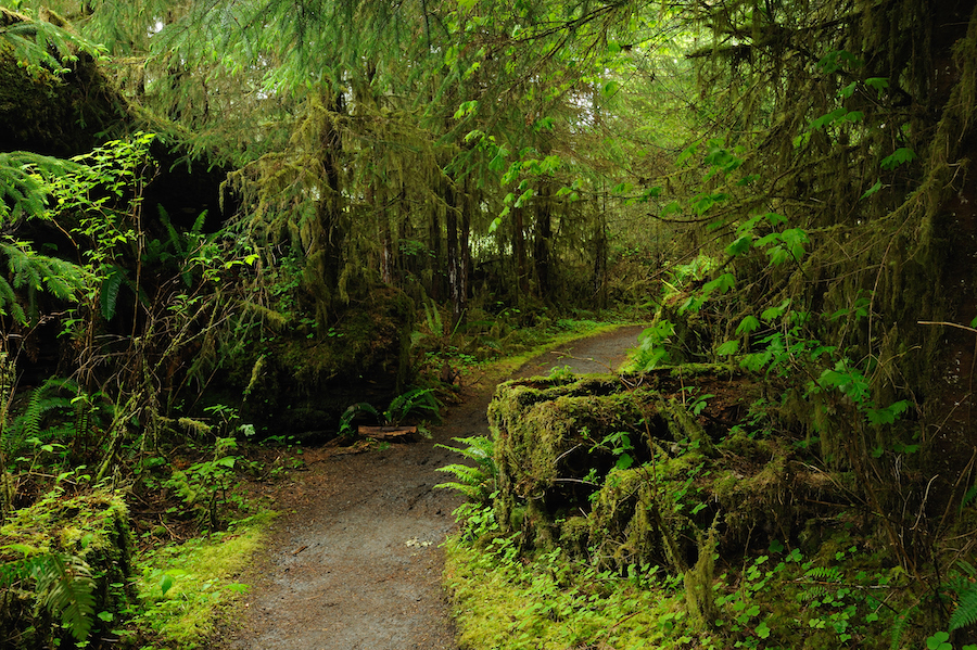 A trail through the Hoh Rain Forest in Olympic National Park.