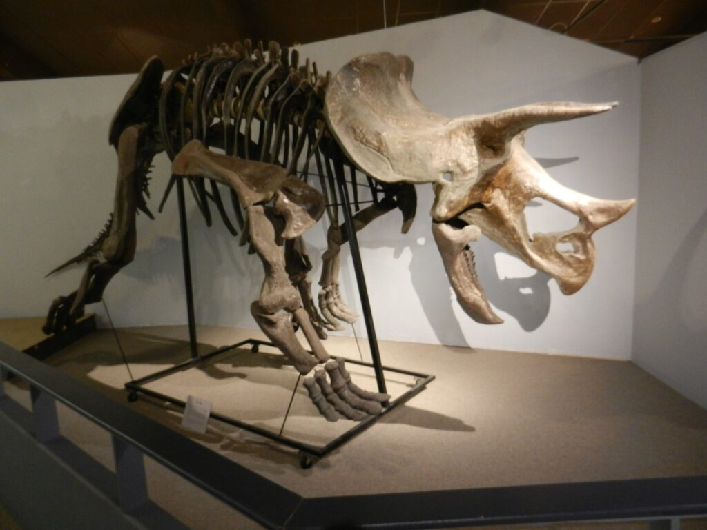 A triceratops skeleton at the Pioneer Trails Regional Museum.