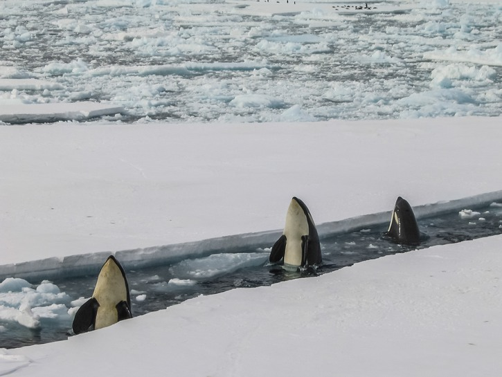 A trio of orca whales peak up from the ice