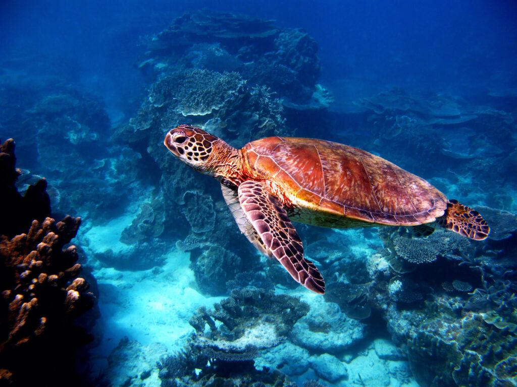 A turtle along the Great Barrier Reef in Australia.