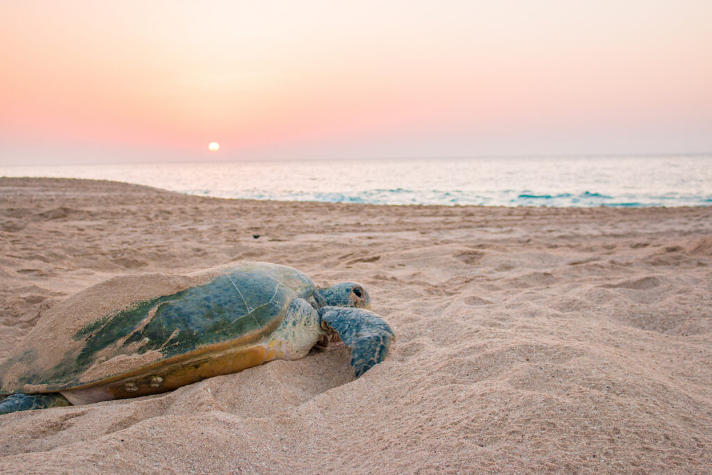 A turtle on a beach in Oman.