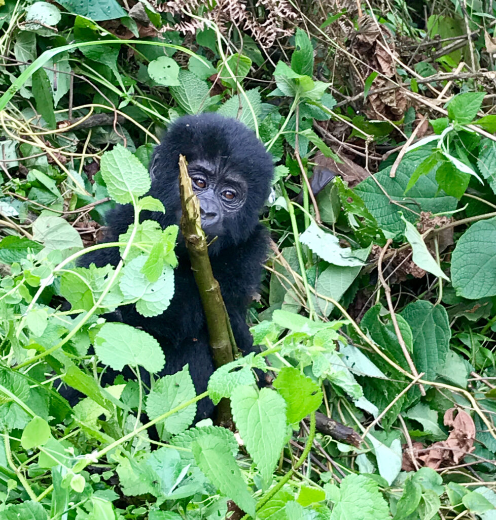 A Ugandan gorilla in the wild.