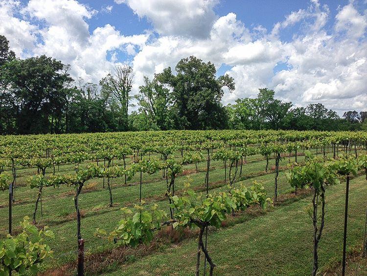 A vineyard along the Shawnee Hills Wine Trail.