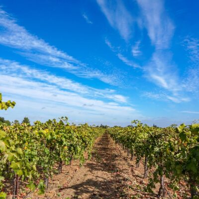 A vineyard in Lodi, California.