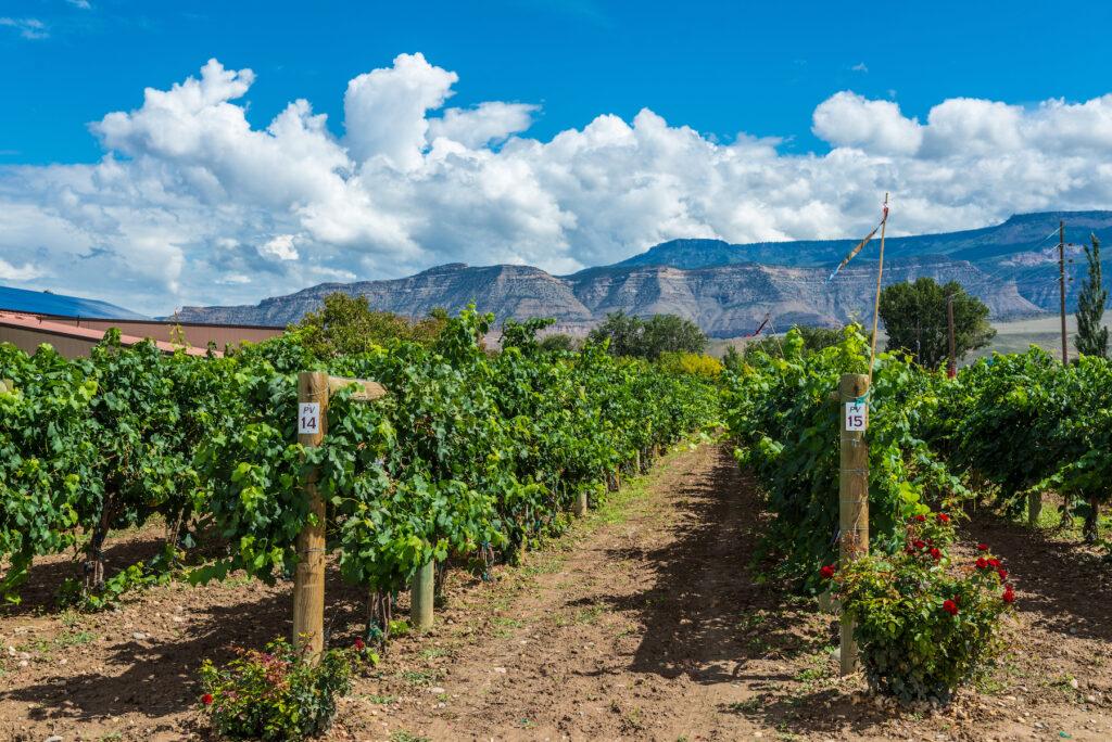 A vineyard in Palisade, Colorado.