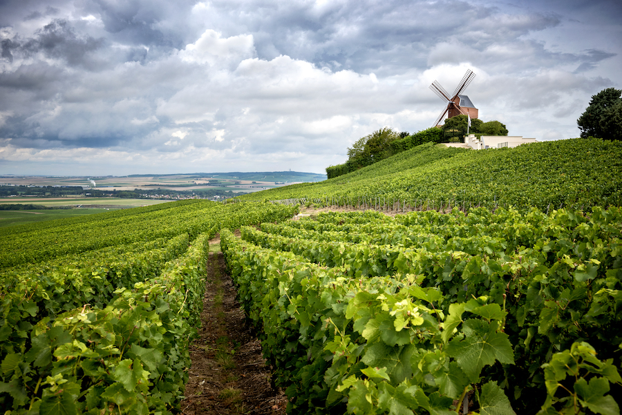 A vineyard in the Champagne wine region of France.