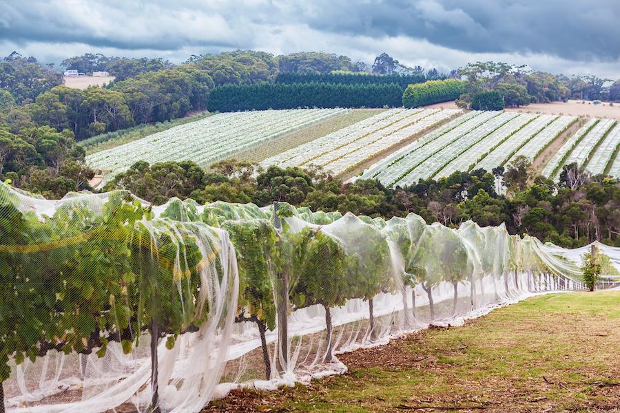 A vineyard in the Mornington Peninsula of Australia.