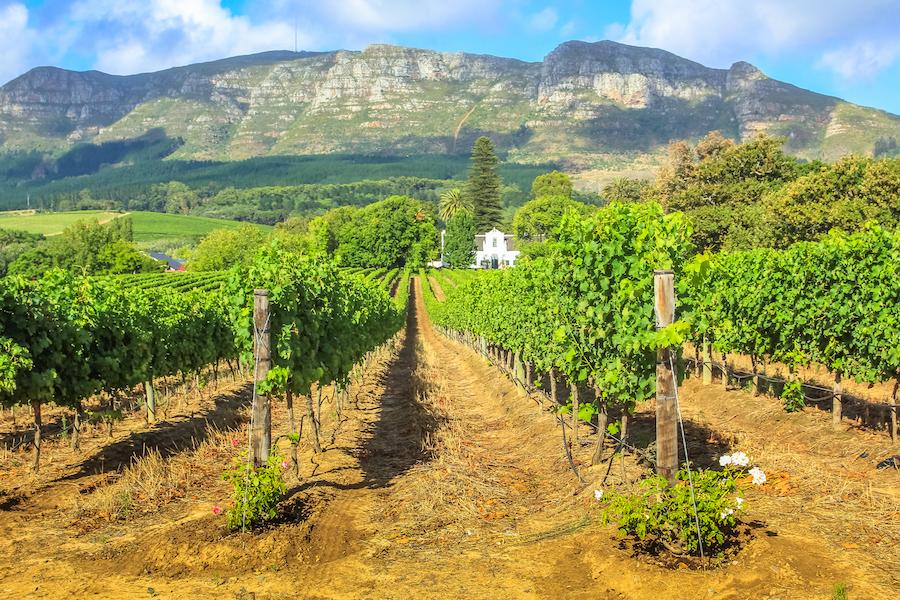 A vineyard in the Stellenbosch wine region of South Africa.