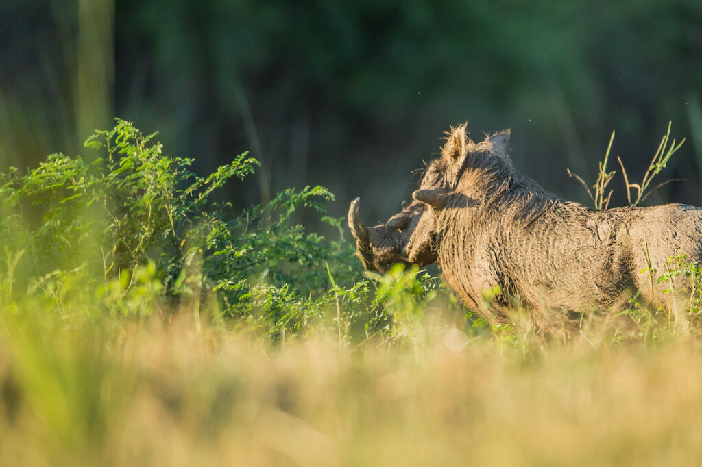 A warthog in the brush.