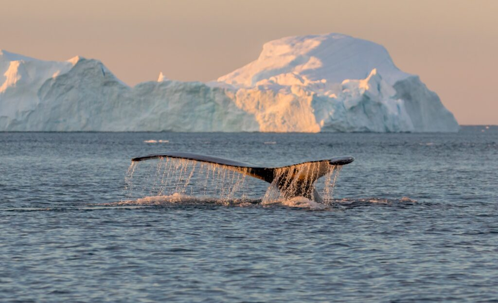 A whale at the Ilulissat Icefjord in Greenland.