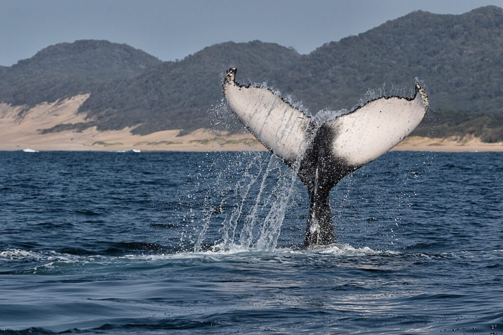 A whale off the coast of Hermanus, South Africa.